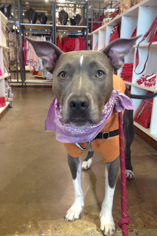 100 Dog Friendly Stores - Ruka The Pit Bull